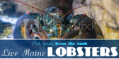 Live Main Lobsters