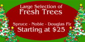 Large Selection of Fresh Trees